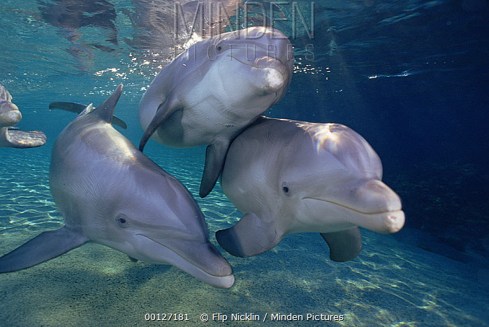 Bottlenose Dolphin (Tursiops truncatus) trio underwater, Waikoloa Hyatt, Hawaii  -  Flip  Nicklin
