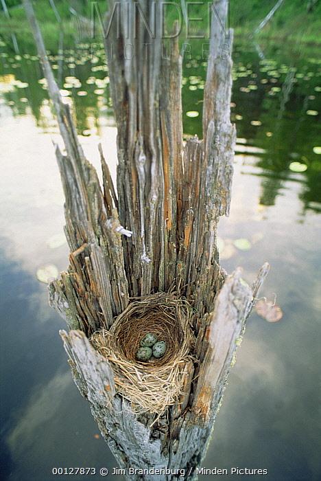 American Robin (Turdus migratorius) nest, Northwoods, Minnesota  -  Jim Brandenburg