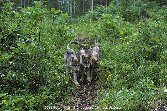 Timber Wolf (Canis lupus) pups on path in forest, Minnesota  -  Jim Brandenburg