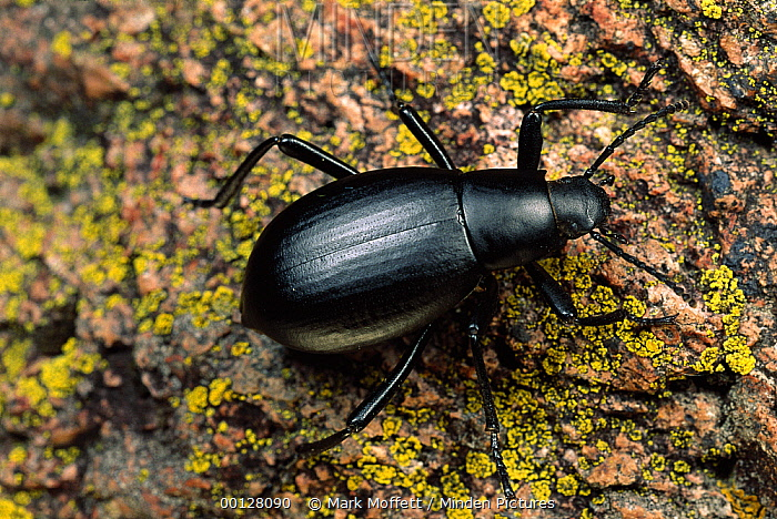 Darkling Beetle (Onymacris sp), Sycamore Canyon, Arizona  -  Mark Moffett