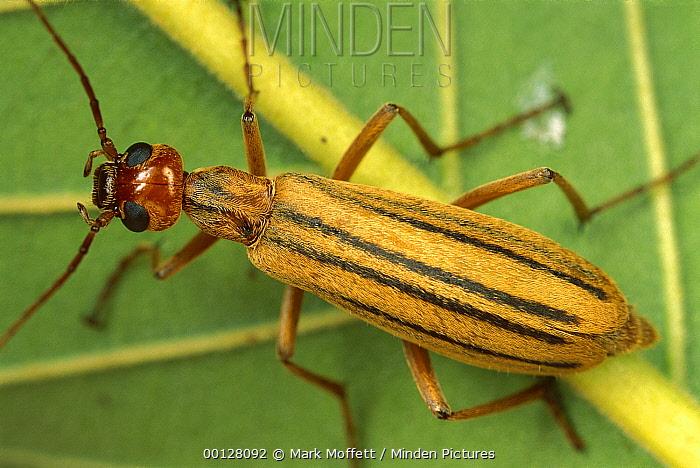 Three striped blister beetle