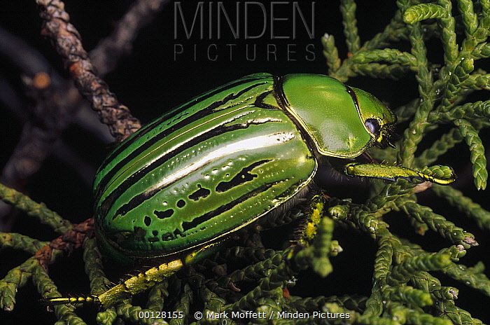 Golden Scarab Beetle (Plusiotis resplendens) in fir tree, Pena Blanca Lake, Arizona  -  Mark Moffett