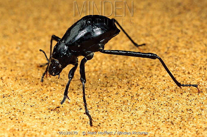 Darkling Beetle (Onymacris unguicularis) tips its head down to drink dew collected on its back, Namib Desert, Namibia  -  Mark Moffett