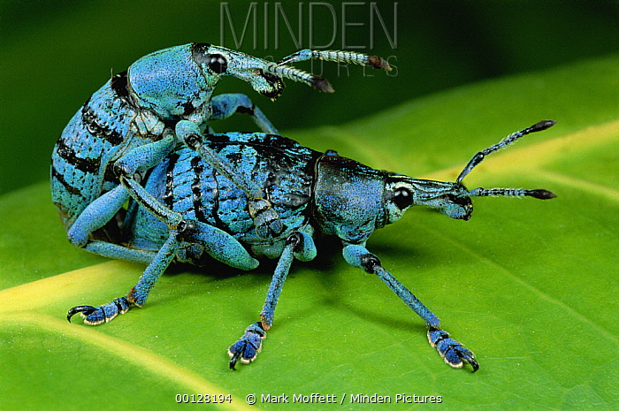 True Weevil (Eupholus sp) pair mating, Hala, Papua New Guinea  -  Mark Moffett