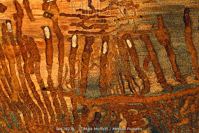 Bark Beetle (Dendroctonus pseudotsugae) larvae with radiating galleries in Douglas Fir (Pseudotsuga menziesii) tree, University of Idaho Forest, Idaho  -  Mark Moffett