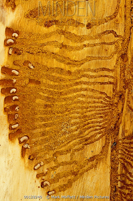 Bark Beetle (Dendroctonus pseudotsugae) larvae with radiating galleries in Douglas Fir (Pseudotsuga menziesii) tree, Flat Creek, University of Idaho Forest, Idaho