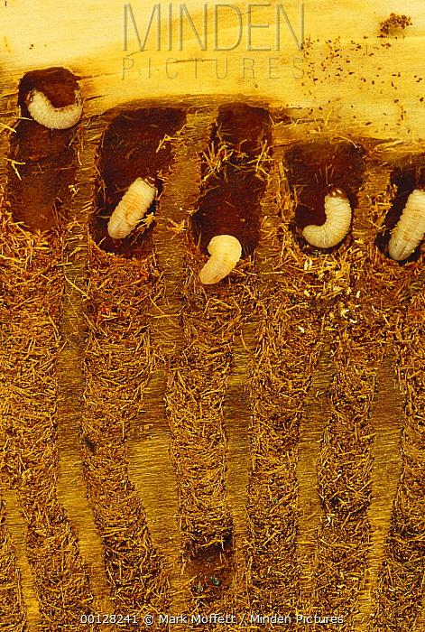 Bark Beetle (Dendroctonus pseudotsugae) larvae with radiating galleries in Douglas Fir (Pseudotsuga menziesii) tree, Flat Creek, University of Idaho Forest, Idaho  -  Mark Moffett