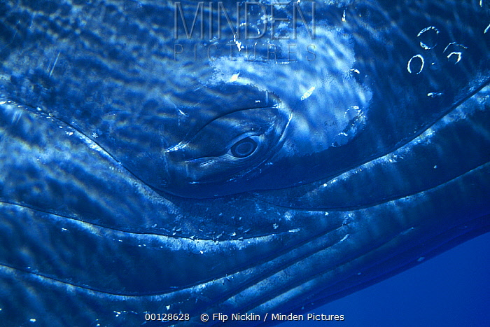 Humpback Whale (Megaptera novaeangliae) eye of singer, Maui, Hawaii - notice must accompany publication; photo obtained under NMFS permit 987