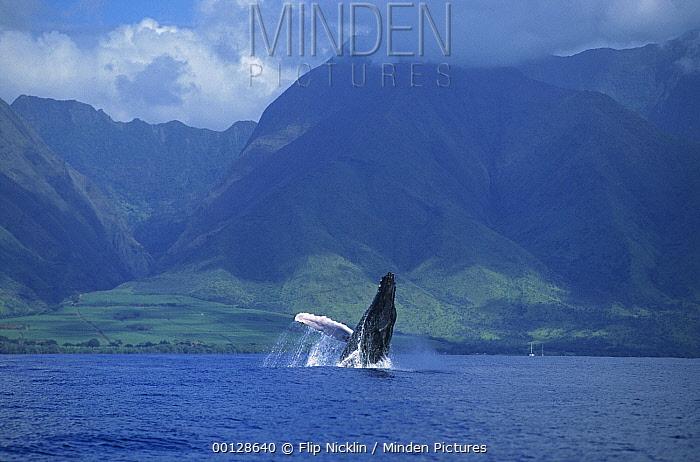 Humpback Whale (Megaptera novaeangliae) breaching, Maui, Hawaii - notice must accompany publication; photo obtained under NMFS permit 987
