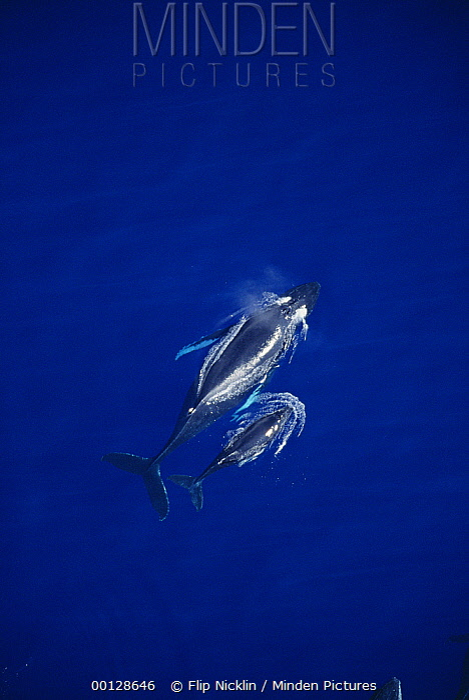 Humpback Whale (Megaptera novaeangliae) aerial measuring shot, Maui, Hawaii - notice must accompany publication; photo obtained under NMFS permit 987  -  Flip  Nicklin
