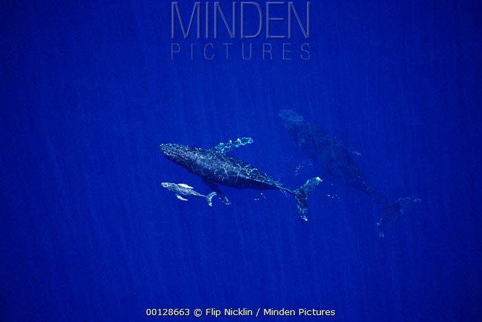 Humpback Whale (Megaptera novaeangliae) cow, calf and escorts, Maui, Hawaii - notice must accompany publication; photo obtained under NMFS permit 987  -  Flip  Nicklin