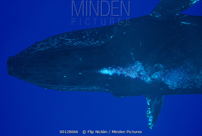 Humpback Whale (Megaptera novaeangliae) blowing bubbles, Maui, Hawaii - notice must accompany publication; photo obtained under NMFS permit 987  -  Flip  Nicklin