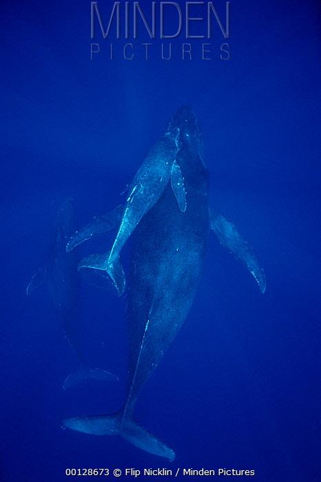 Humpback Whale (Megaptera novaeangliae) cow, calf and escort, Maui, Hawaii - notice must accompany publication; photo obtained under NMFS permit 987  -  Flip  Nicklin