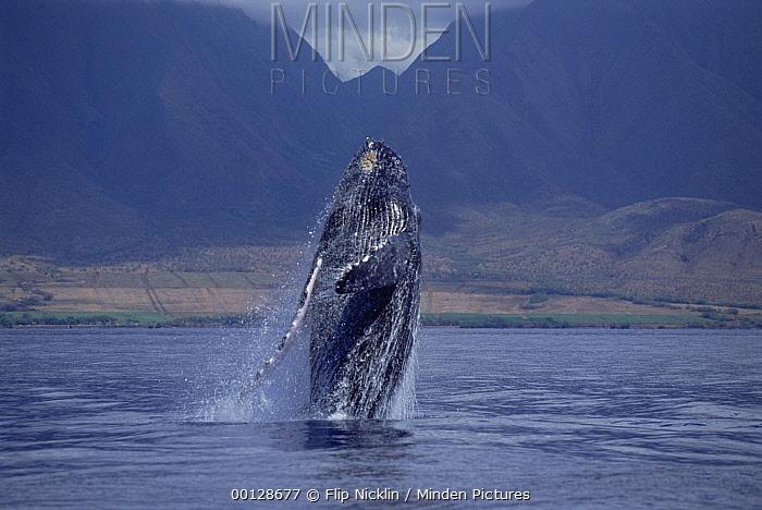 Humpback Whale (Megaptera novaeangliae) breaching, Maui, Hawaii - notice must accompany publication; photo obtained under NMFS permit 987  -  Flip  Nicklin