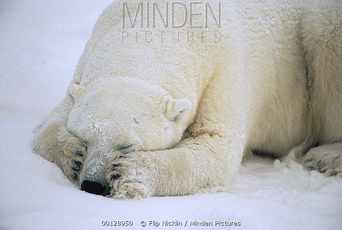 Polar Bear (Ursus maritimus) sleeping, Churchill, Manitoba, Canada  -  Flip  Nicklin