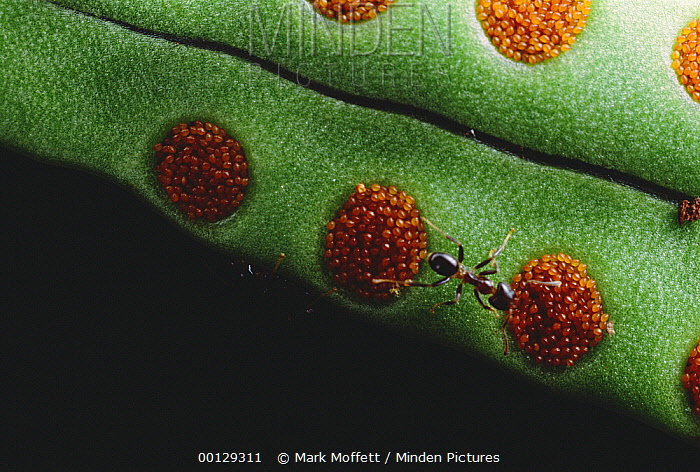 Ant (Philidris sp) group feeding on the oily orange spores of a host fern The ants live in the fern's stem, where they gather nutrient rich debris to create compost for the fern, Borneo  -  Mark Moffett