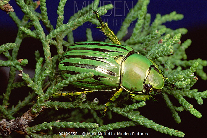 Golden Scarab Beetle (Plusiotis resplendens) on fir needles, Pena Blanca Lake, Arizona  -  Mark Moffett