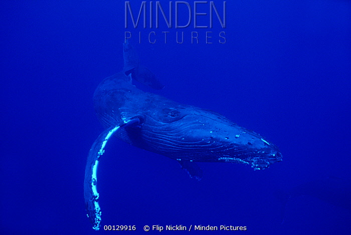 Humpback Whale (Megaptera novaeangliae) swimming underwater, Maui, Hawaii - notice must accompany publication; photo obtained under NMFS permit 987  -  Flip  Nicklin