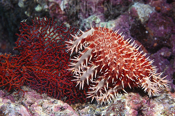 Crown-of-thorns Starfish (Acanthaster planci) feeding on corals, Sea of Cortez, Baja California, Mexico  -  Norbert Wu