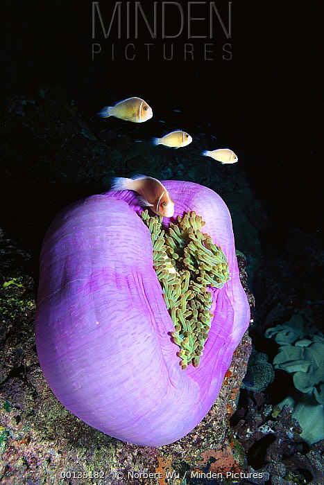 Pink Anemonefish (Amphiprion perideraion) protected by stinging tentacles of host Magnificent Anemone, Solomon Islands  -  Norbert Wu