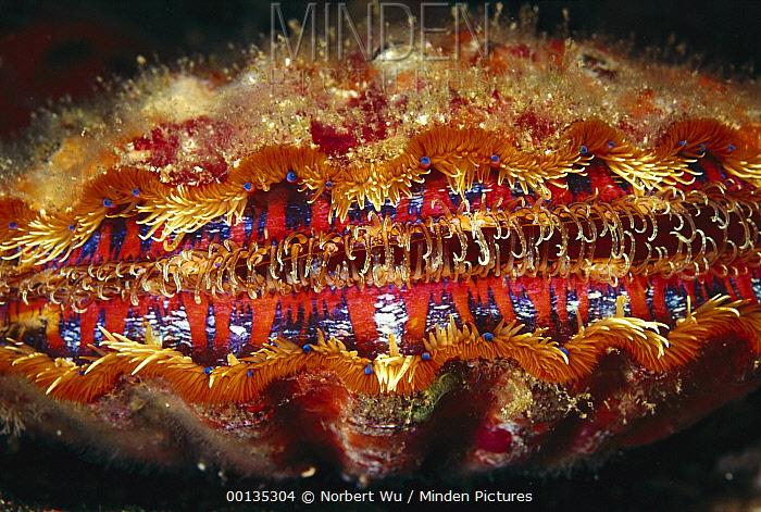 Scallop (Nodipecten magnificus) colorful mantle contains blue eyes, Galapagos Islands, Ecuador  -  Norbert Wu
