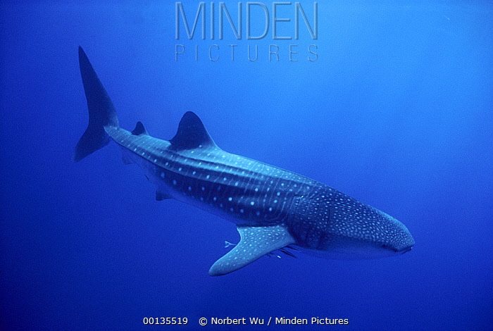 Whale Shark (Rhincodon typus) largest fish in the world to 60 feet, Seychelles  -  Norbert Wu
