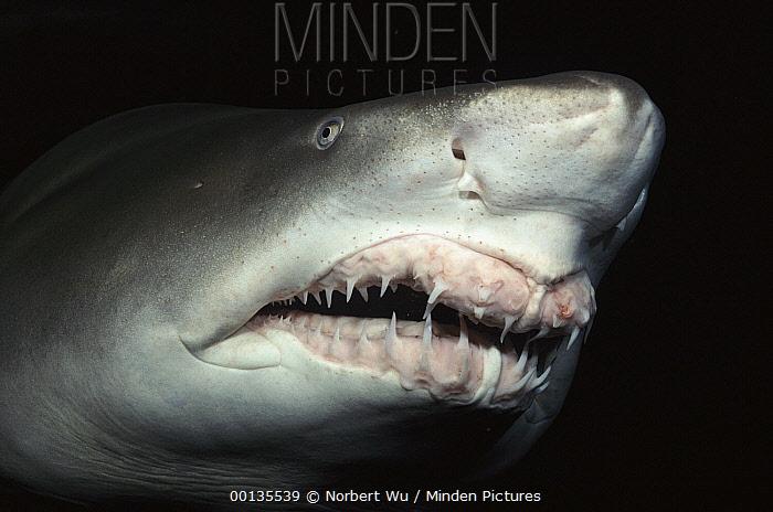 Grey Nurse Shark (Carcharias taurus) close-up of teeth and nose, Steinhart Aquarium, San Francisco, California  -  Norbert Wu