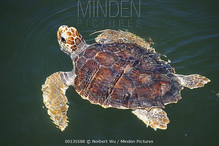 Loggerhead Sea Turtle (Caretta caretta), 2-3 year old juvenile swimming, Florida  -  Norbert Wu