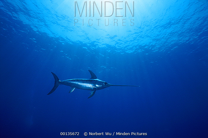 Swordfish (Xiphias gladius) worldwide, can tolerate temperatures of five degrees Celsius and dive to 650 meters, uses sword to kill prey such as squid, can grow to 14 feet and 1200 pounds, Sardinia, Italy, Mediterranean Sea  -  Norbert Wu
