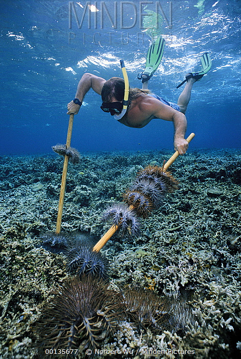 Crown-of-thorns Starfish (Acanthaster planci) are cleared by Ron Leidich since they damage coral reefs, cause of population explosion is unknown, Palau  -  Norbert Wu
