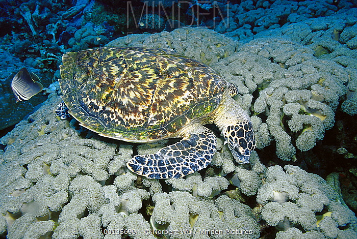 Hawksbill Sea Turtle (Eretmochelys imbricata) eating Organ Pipe Coral, Papua New Guinea  -  Norbert Wu