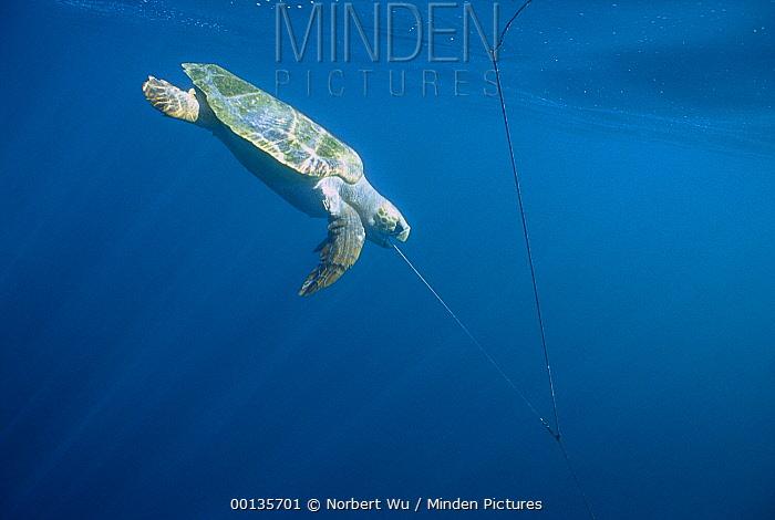 Loggerhead Sea Turtle (Caretta caretta) caught on long-line, will drown if not released in time, Baja California, Mexico  -  Norbert Wu