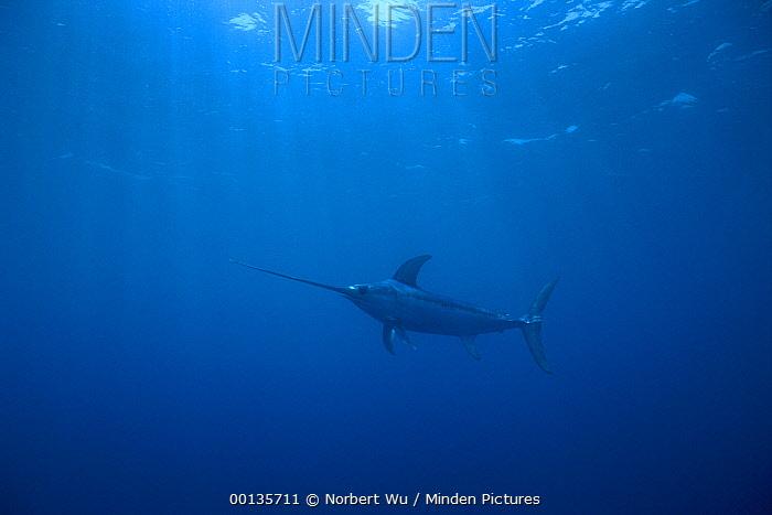 Swordfish (Xiphias gladius) worldwide, can tolerate temperatures of five degrees Celsius and dive to 650 meters, uses sword to kill prey such as squid, Sardinia, Italy, Mediterranean Sea  -  Norbert Wu