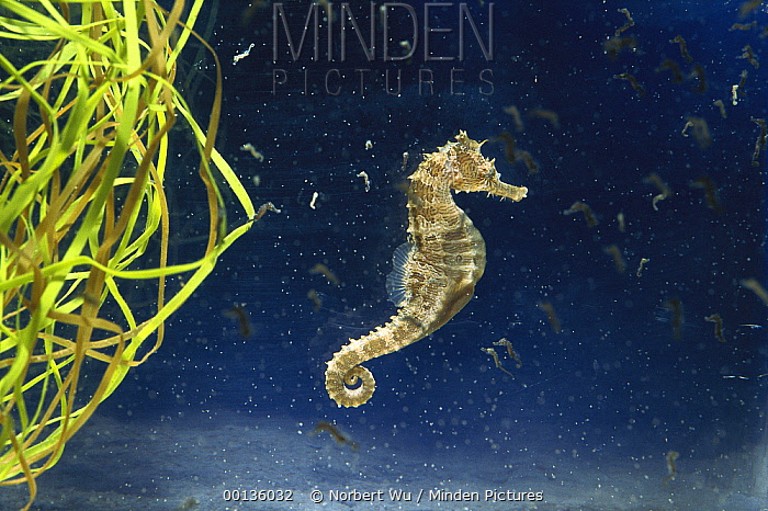 Spotted Seahorse (Hippocampus erectus) male who has just given birth to babies, surrounded by his offspring  -  Norbert Wu
