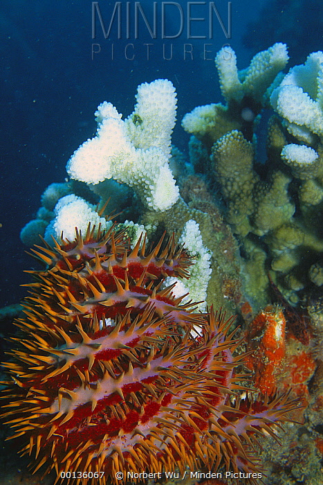 Crown-of-thorns Starfish (Acanthaster planci) feeds on and kills coral colony, Seychelles, Indian Ocean  -  Norbert Wu