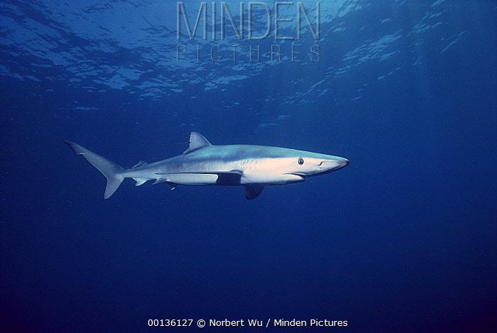 Blue Shark (Prionace glauca), San Diego, California  -  Norbert Wu