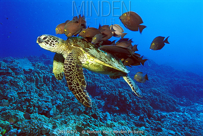 Green Sea Turtle (Chelonia mydas) being cleaned by Yellow-eyed Surgeonfish (Ctenochaetus strigosus), Hawaii  -  Norbert Wu