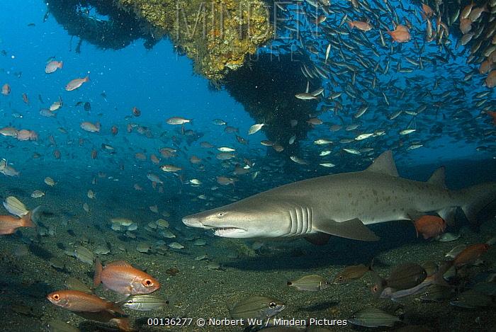 Grey Nurse Shark (Carcharias taurus) swimming through Papoose Wreck off North Carolina  -  Norbert Wu
