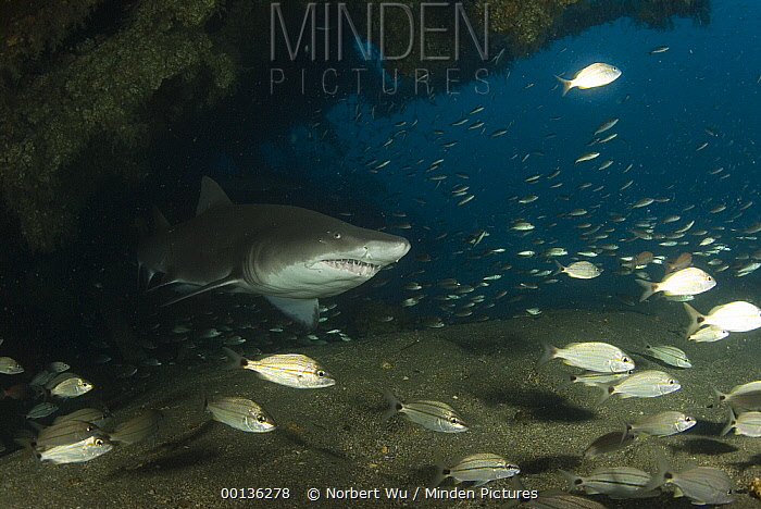 Grey Nurse Shark (Carcharias taurus) swimming through Papoose Wreck with other small fish, off North Carolina  -  Norbert Wu