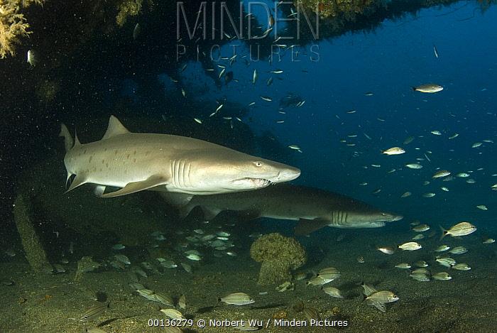 Grey Nurse Shark (Carcharias taurus) pair and other small fish swimming through Papoose Wreck off North Carolina  -  Norbert Wu