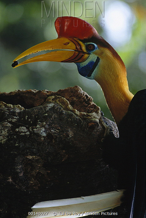 Sulawesi Red-knobbed Hornbill (Aceros cassidix) male delivering Figs to female sealed in hollow tree nest cavity, Tangkoko-Dua Saudara Nature Reserve, Sulawesi, Indonesia  -  Tui De Roy