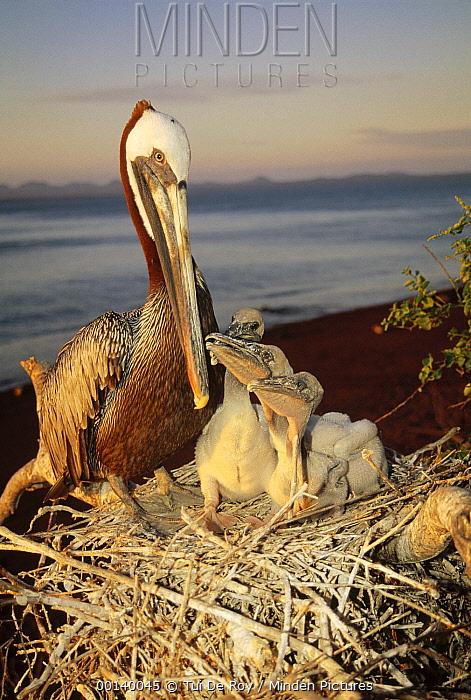 Brown Pelican (Pelecanus occidentalis) parent guarding nestlings in salt bush thickets, Rabida Island, Galapagos Islands, Ecuador  -  Tui De Roy
