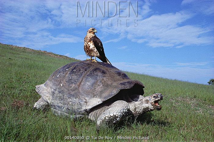 Volcan Alcedo Giant Tortoise (Chelonoidis vandenburghi) with Galapagos Hawk (Buteo galapagoensis) perched on back, Alcedo Volcano, Isabella Island, Galapagos Islands, Ecuador  -  Tui De Roy