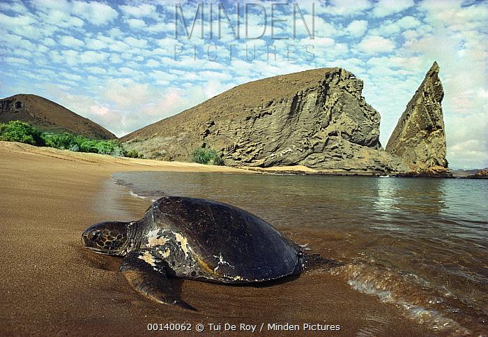 Green Sea Turtle (Chelonia mydas) female hauling out on beach, Bartolome Island, Galapagos Islands, Ecuador  -  Tui De Roy