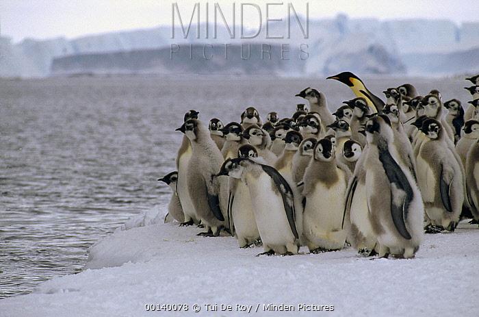 Emperor Penguin (Aptenodytes forsteri) fledgling chicks go to sea with a single adult, Cape Darnley, Davis Sea, Antarctica  -  Tui De Roy