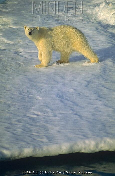 Polar Bear (Ursus maritimus) hunting on summer fjord ice, Spitsbergen, Svalbard, Norwegian Arctic  -  Tui De Roy