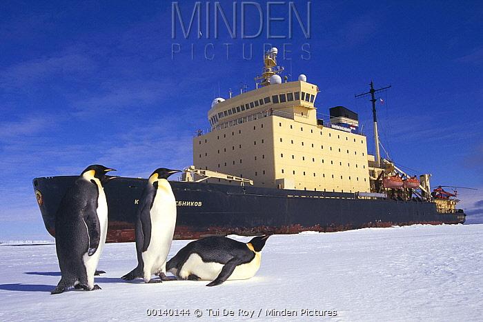 Emperor Penguin (Aptenodytes forsteri) trio observing Russian icebreaker parked in fast ice, Princess Martha Coast, Weddell Sea, Antarctica  -  Tui De Roy