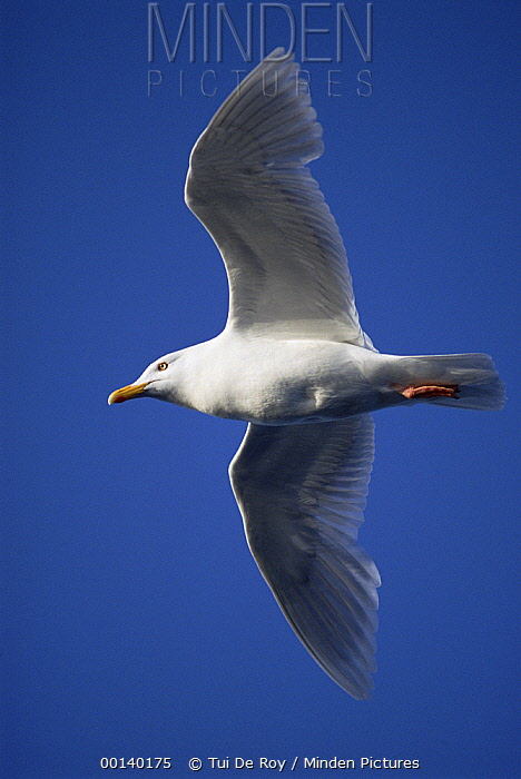 Glaucous Gull (Larus hyperboreus) flying near Bear Island, Norwegian Arctic  -  Tui De Roy