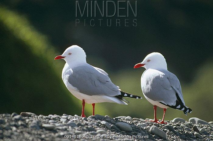 Silver Gull (Larus novaehollandiae) pair, Kaikoura Coast, South Island, New Zealand  -  Tui De Roy