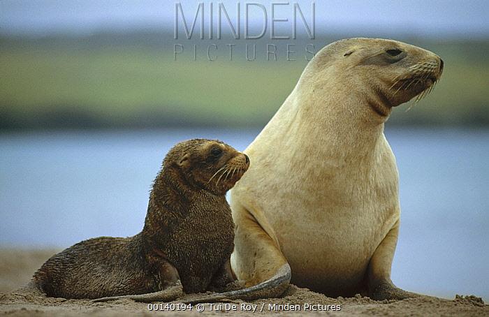 Hooker's Sea Lion (Phocarctos hookeri) mother and pup, Auckland Island, New Zealand  -  Tui De Roy